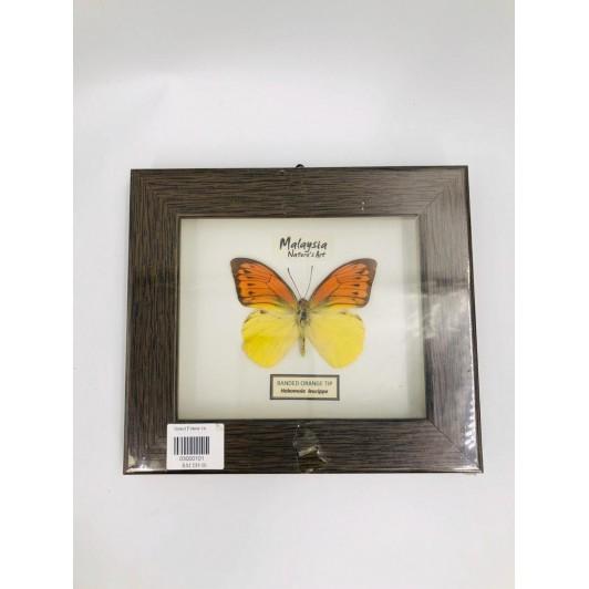 insect frame 1a (hebomoia leucippe)